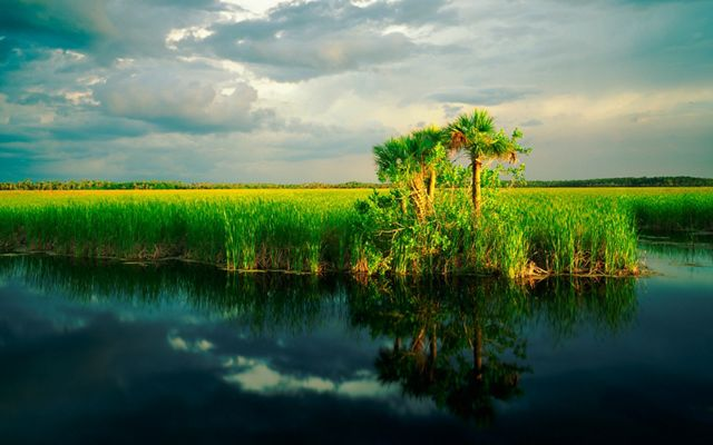 A stand of palm trees at the end of tall wetland grass in the Fakahatchee Strand marshes of the Florida Everglades.