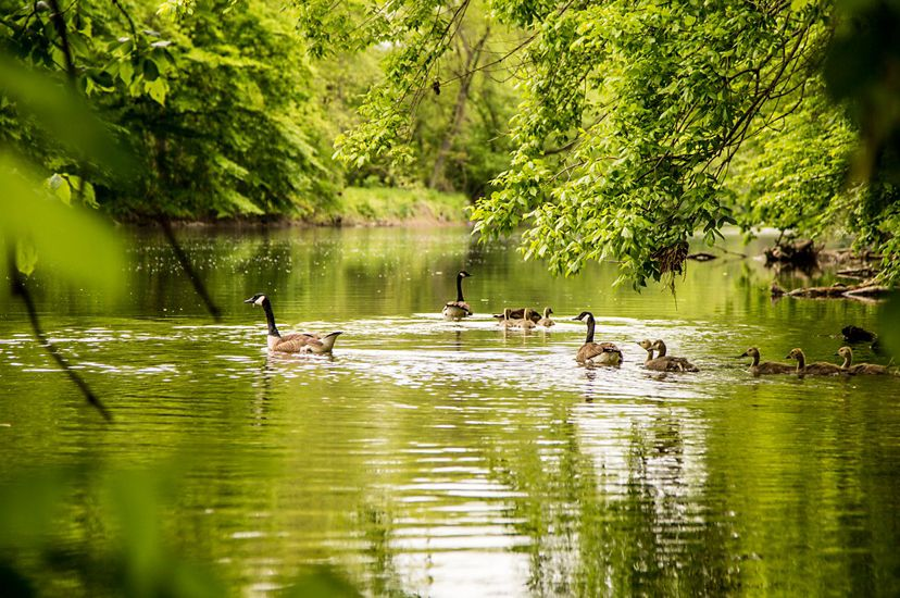 Canada geese and a gaggle of goslings float along a wide, calm creek. Low hanging tree branches are reflected in the water.