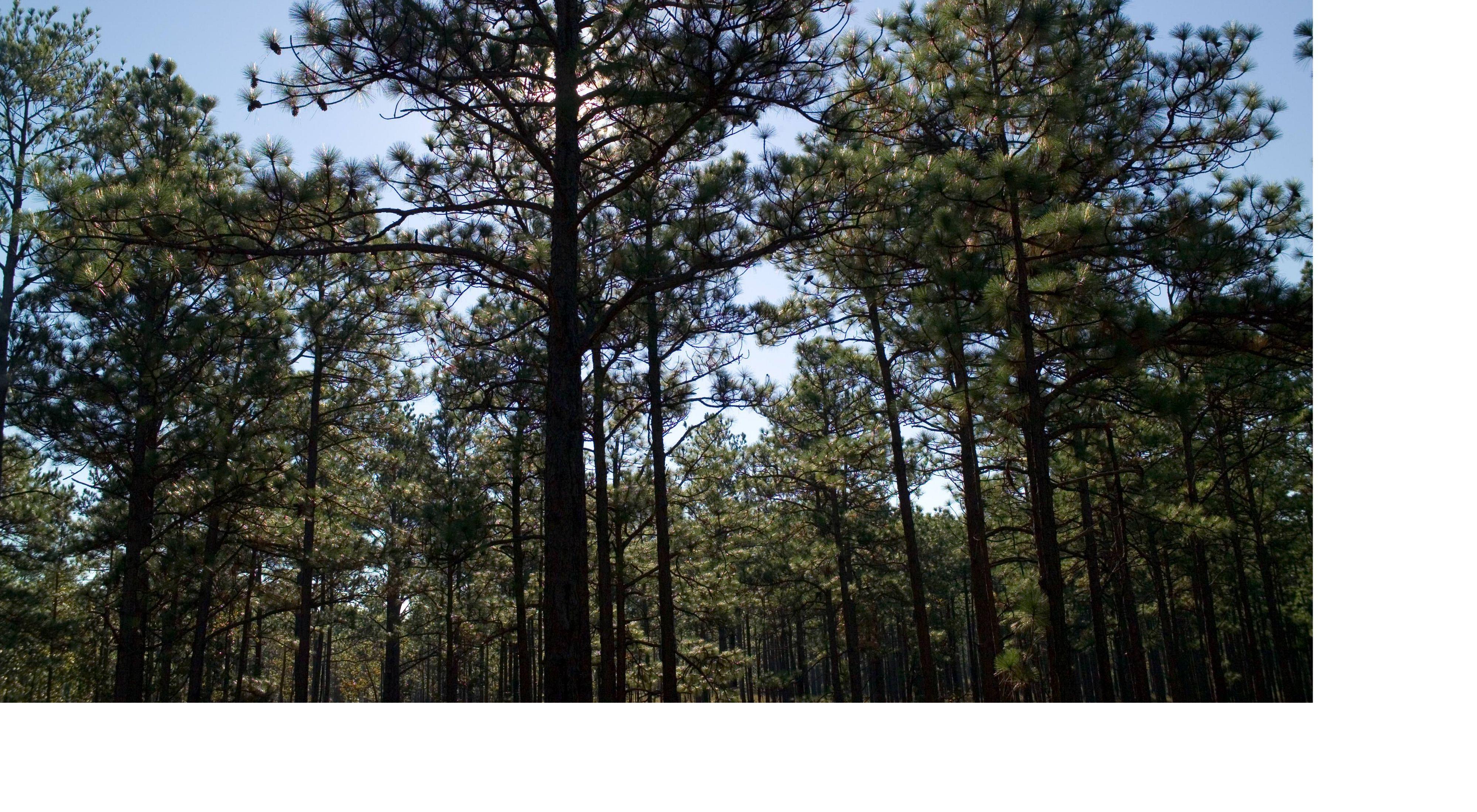 Longleaf pine fort Benning 640x400
