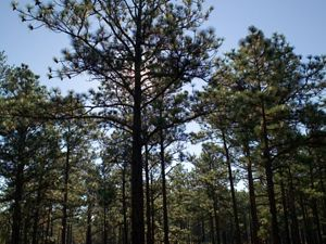 Longleaf pine near Ft. Benning