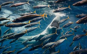 Large white shark hunting fish