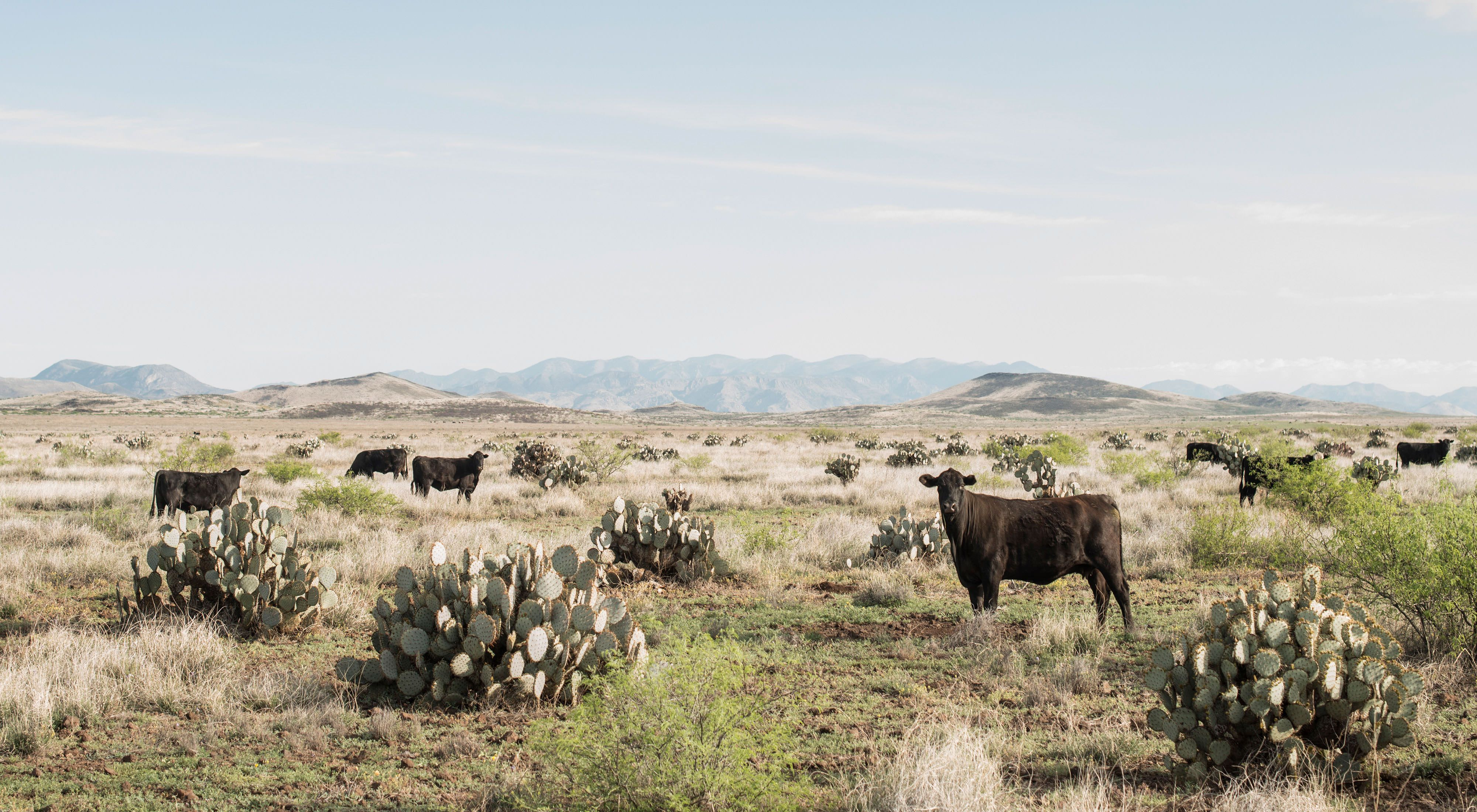 Cattle graze among cacti in the Malpai Borderlands