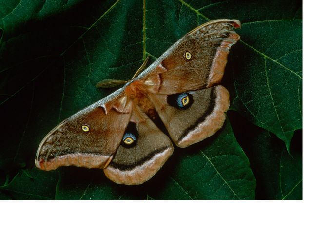 a brown moth with faux eyes on the upper and lower wings.
