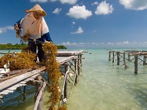 Wa Nuri harvesting and preparing seaweed at the docks of Liya village on the island of Wangi Wangi in Wakatobi National Park, Indonesia.