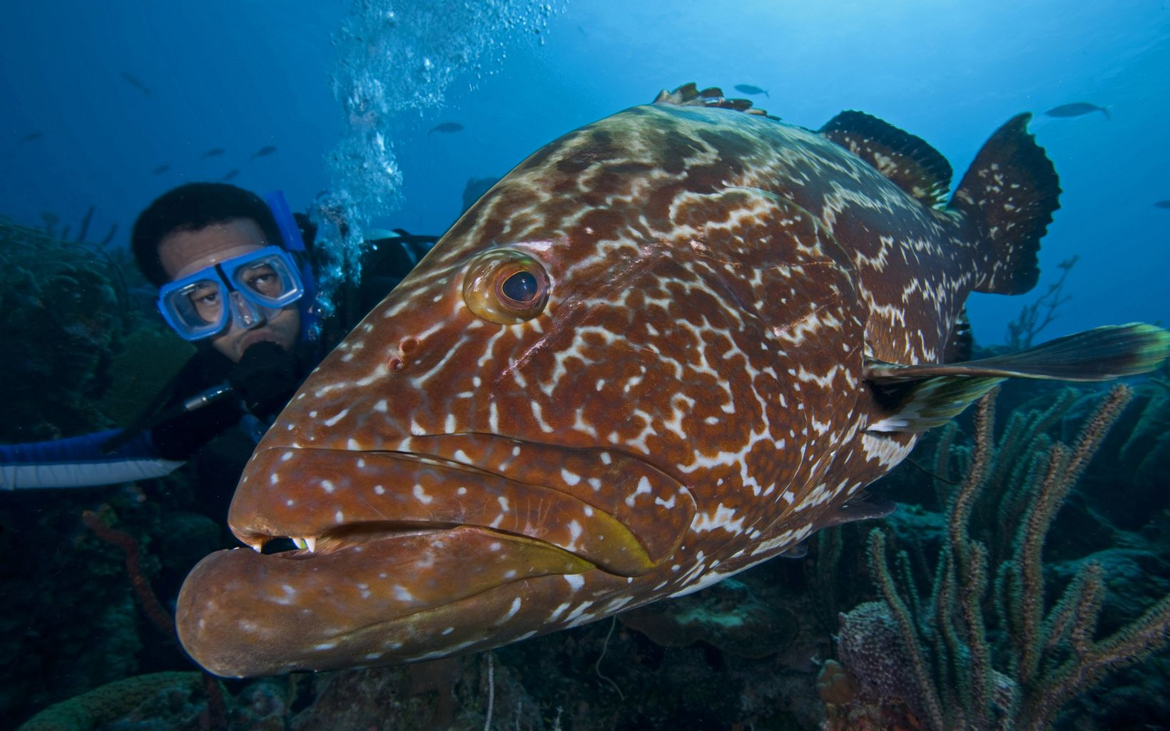 A TNC marine scientist gets up close and personal with a grouper.