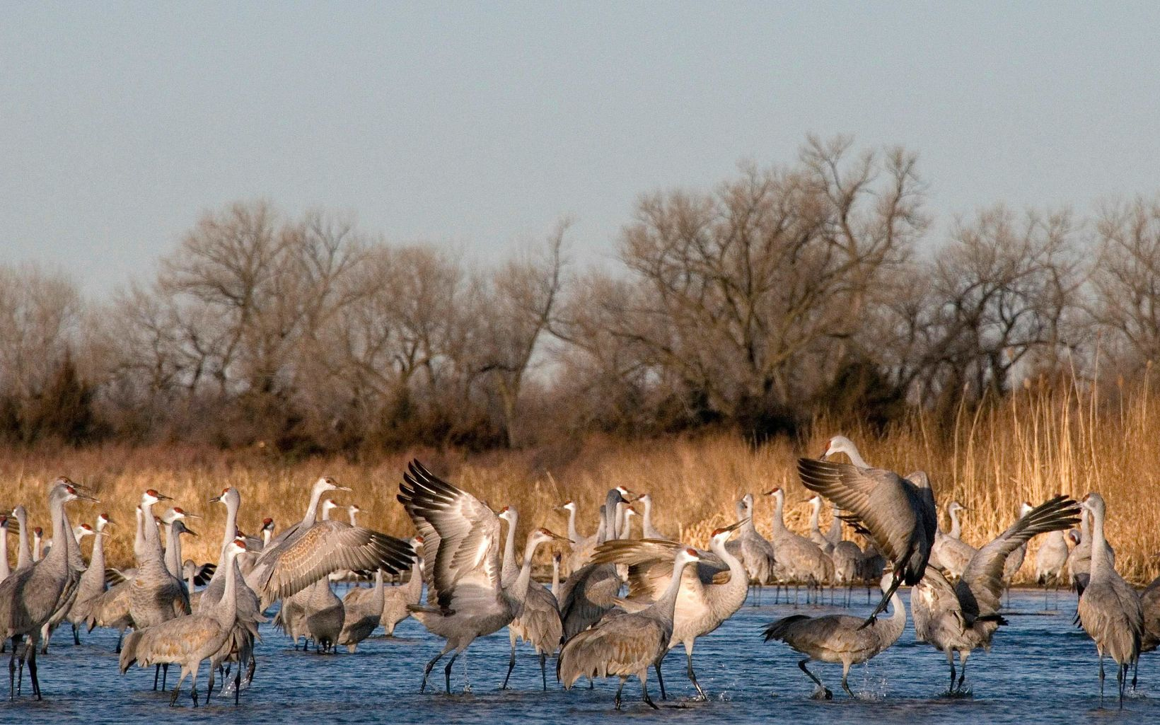 Sandhill cranes refuel at the Platte River in south central Nebraska during their annual migration.