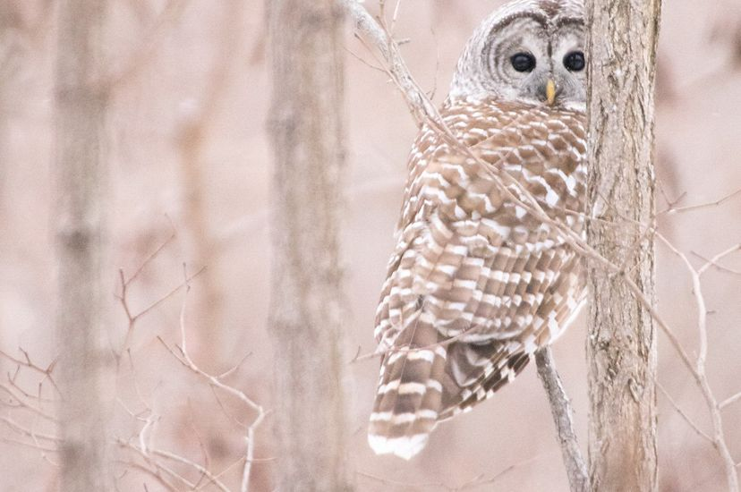 Owl camouflaged among bare branches.