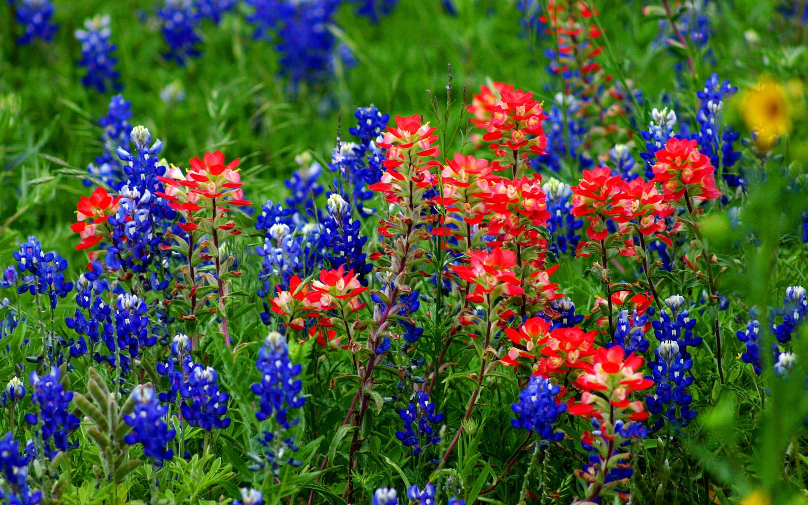 Texas wildflowers bloom at Barton Creek Habitat Preserve.