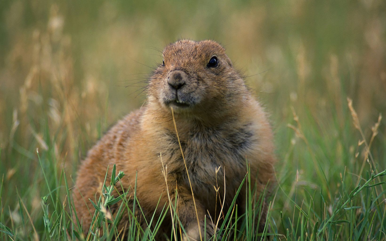 Prairie dog looking angelic in the grass.