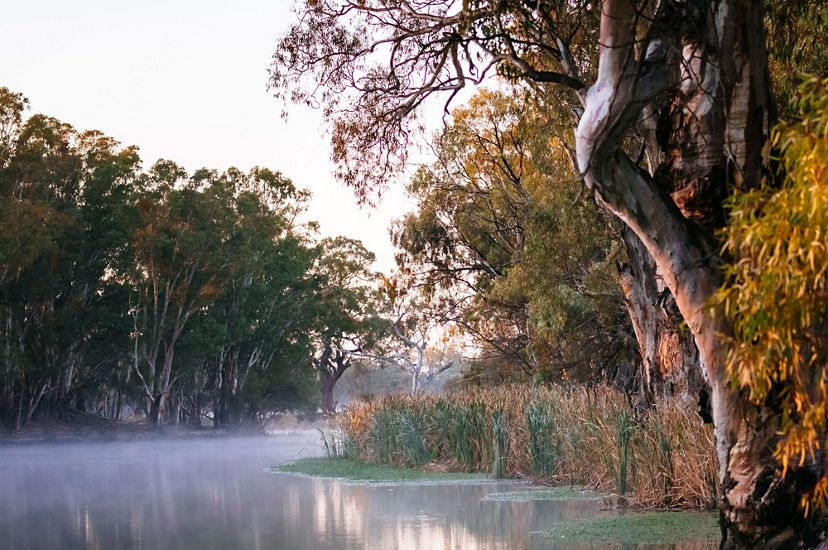 View of Red Gum Trees along the Murray River, Australia.