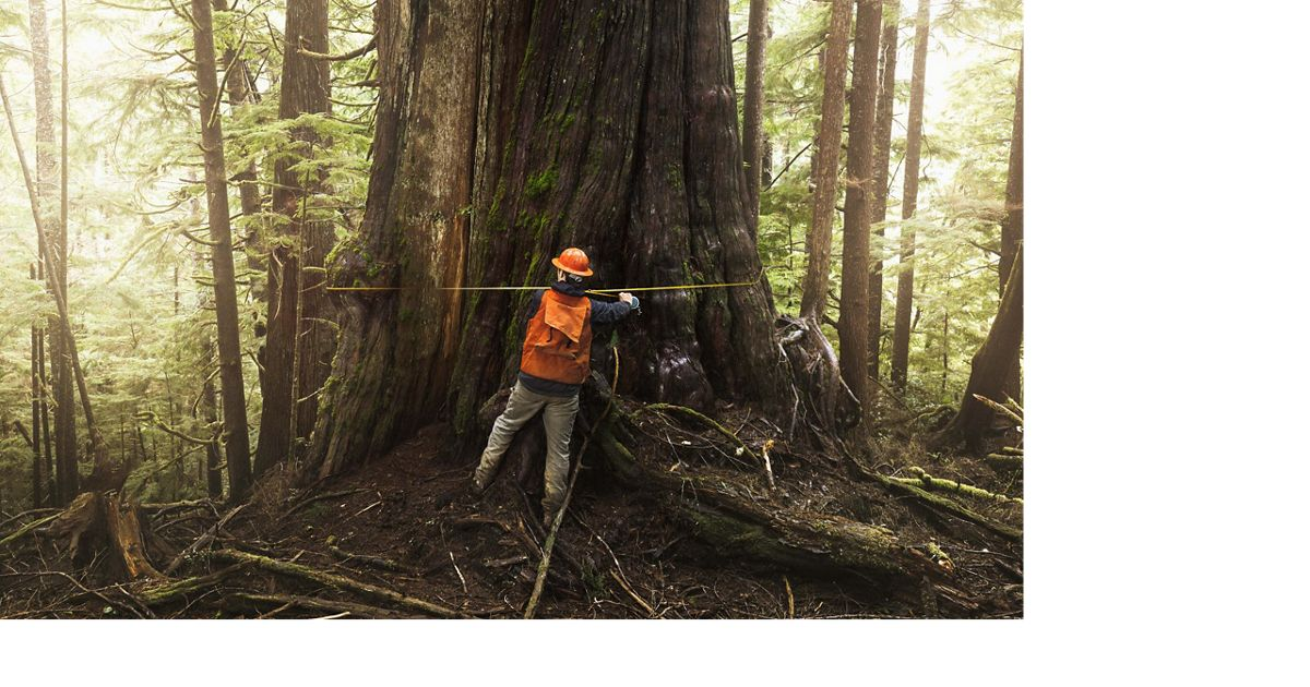 The forest manager measures an 11-foot-wide western red cedar