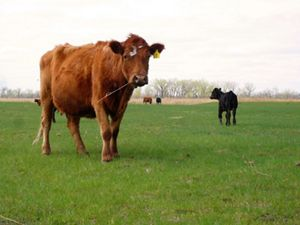 In recently burned patch in early May on the Nature Conservancy's Dahms Suck Pasture, Nebraska, cows enjoy the new grass.
