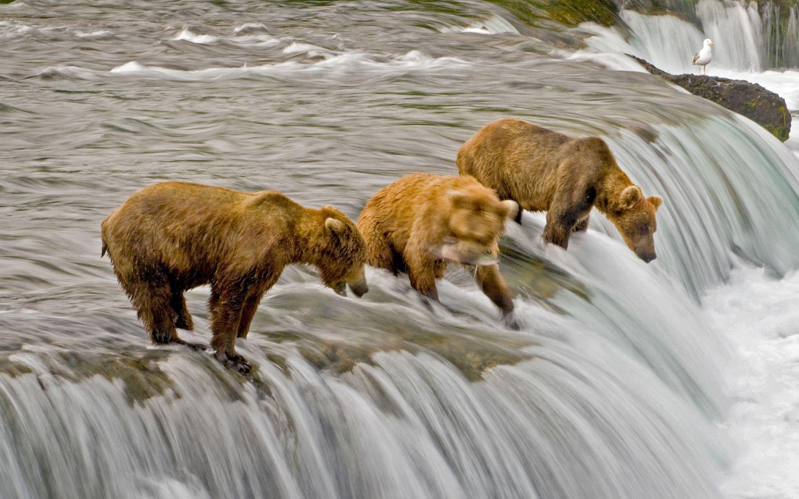 at Brooks Falls, Alaska.
