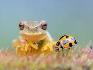 A close-up shot of a frog and a ladybug together.