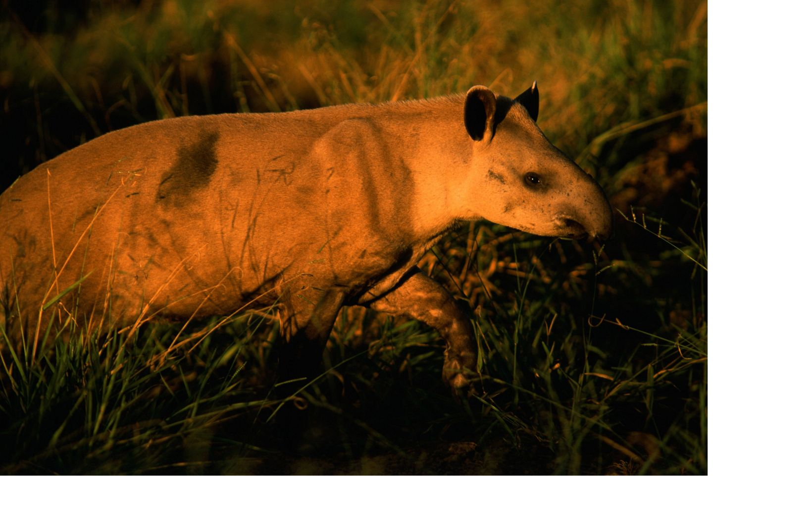 A tapir along the road in the Cerrado of Brazil.