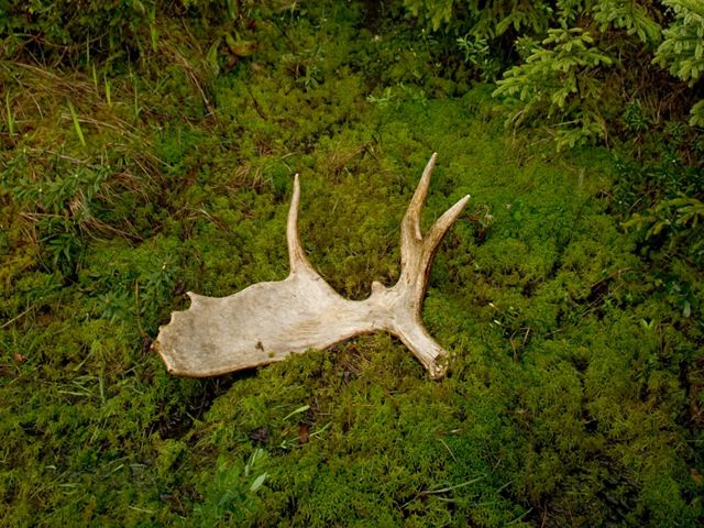 A white moose antler lies on a bed of green moss on the ground.