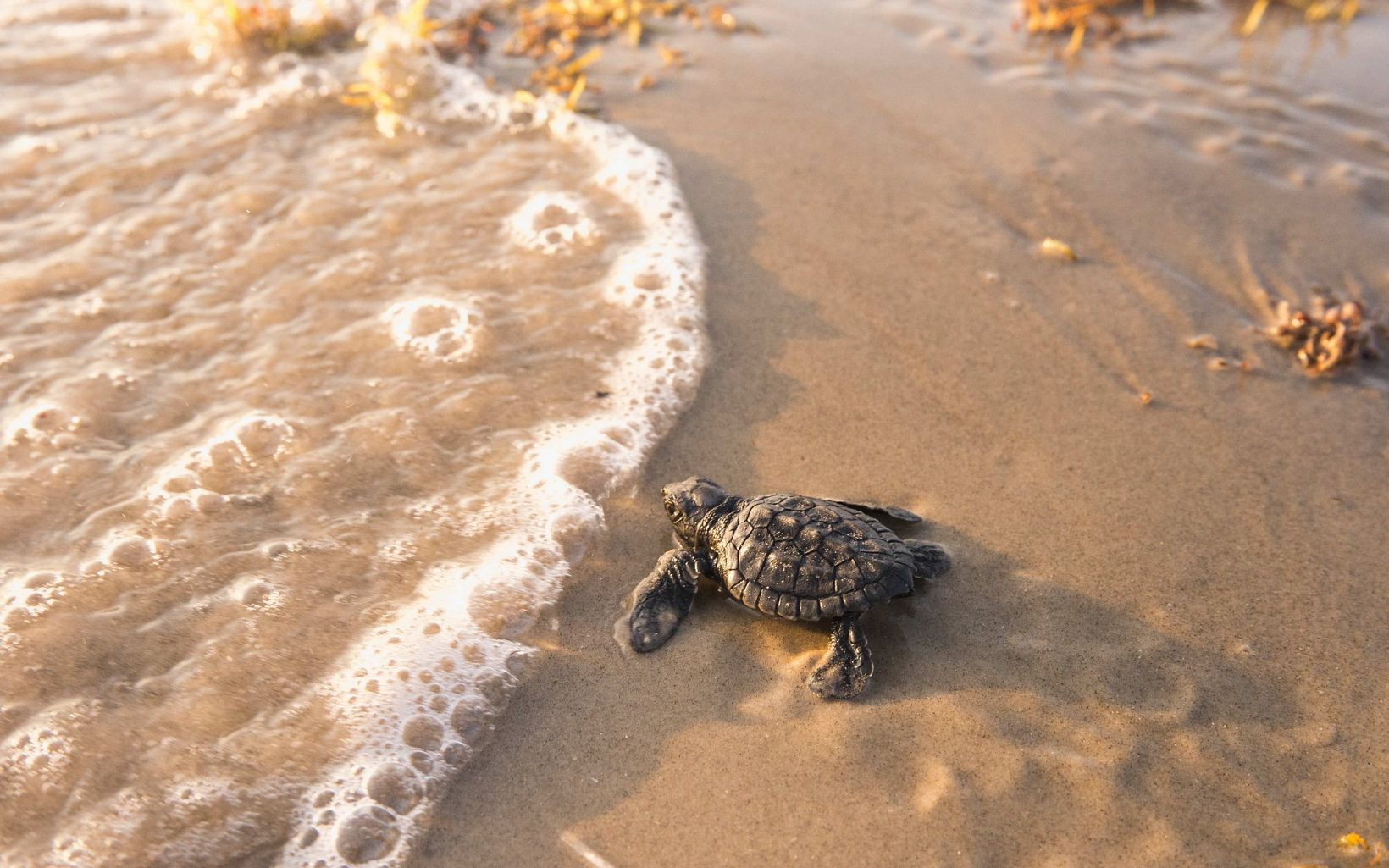 A tiny sea turtle hatchling in the sand as water laps up nearby.