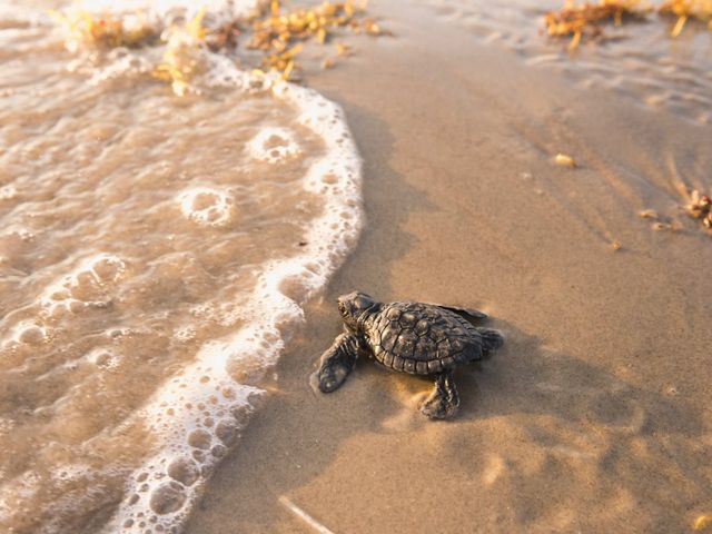 A baby Kemp's ridley sea turtle is released and headed for the ocean. They are the rarest species of sea turtle and listed as critically endangered.