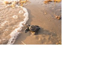 A Baby Kemp's Ridley sea turtle is released and headed for the ocean.
