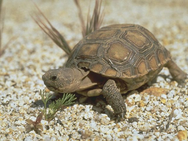 Baby desert tortoise in Anza Borrego Desert, California, United States, North America.