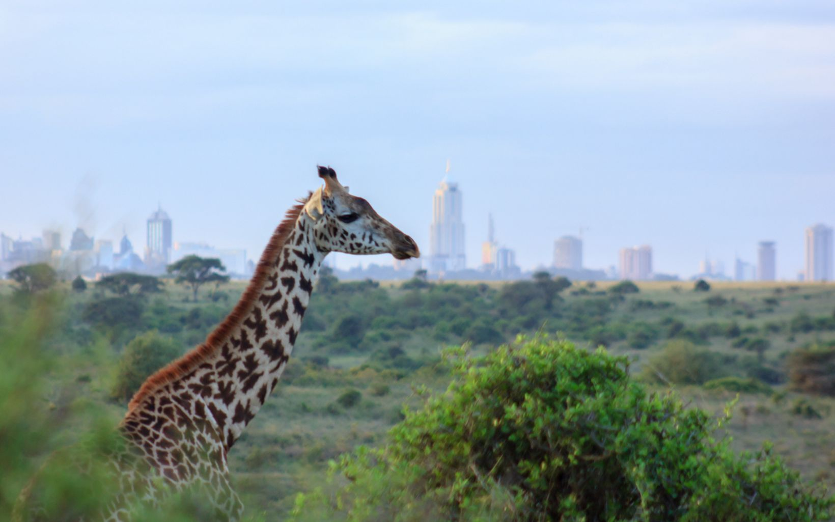 A Masai giraffe overlooking the Nairobi skyline at the Nairobi National Park, Kenya.