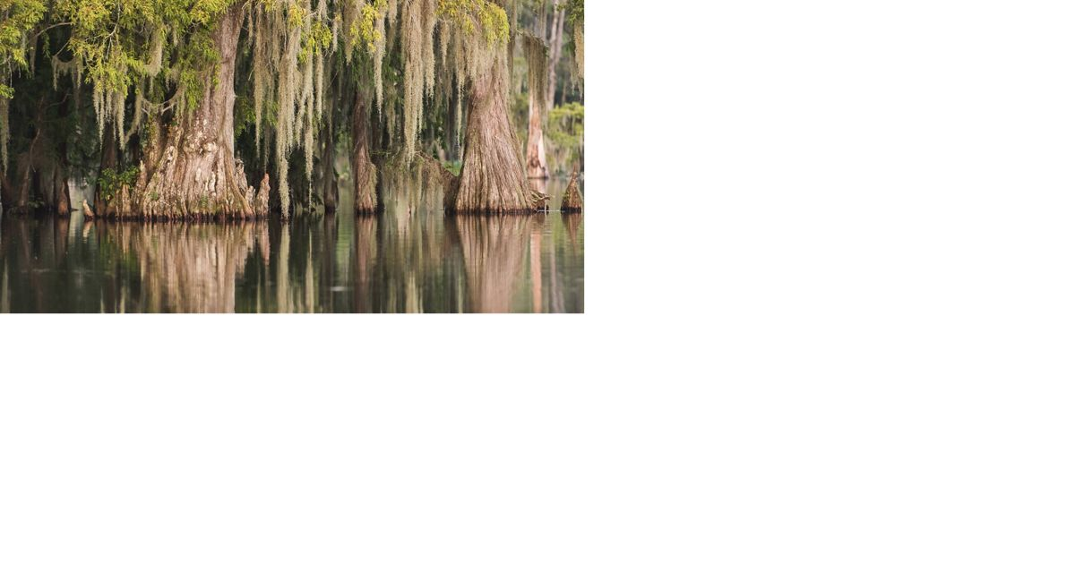 Near Lafayette, Louisiana cypress trees line the banks and provide rookery habitat for numerous wading birds.