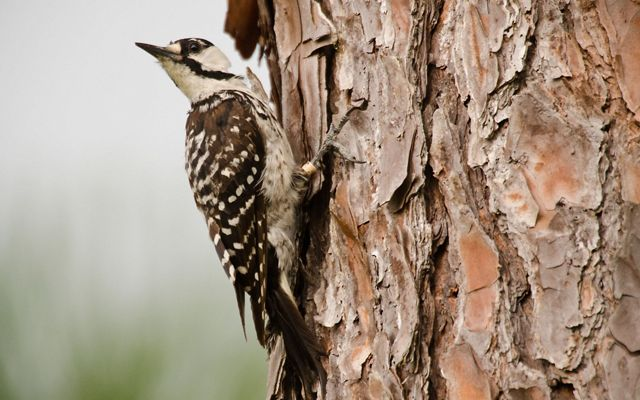 A small bird with white speckled brown wings perches on the side of a pine tree.