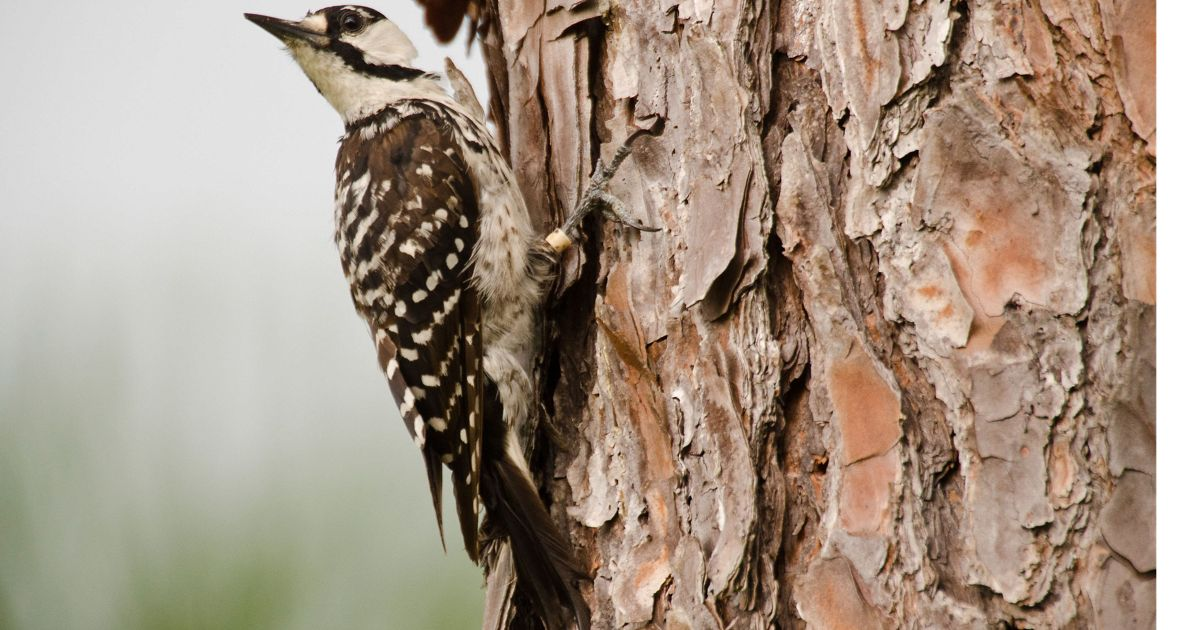 A Red-cockaded Woodpecker (Picoides borealis) at the restored longleaf pine forest in The Nature Conservancy's Disney Wilderness Preserve.