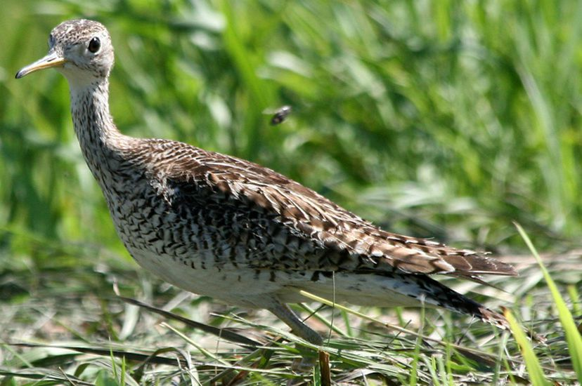 Upland sandpiper in bluestem grass.