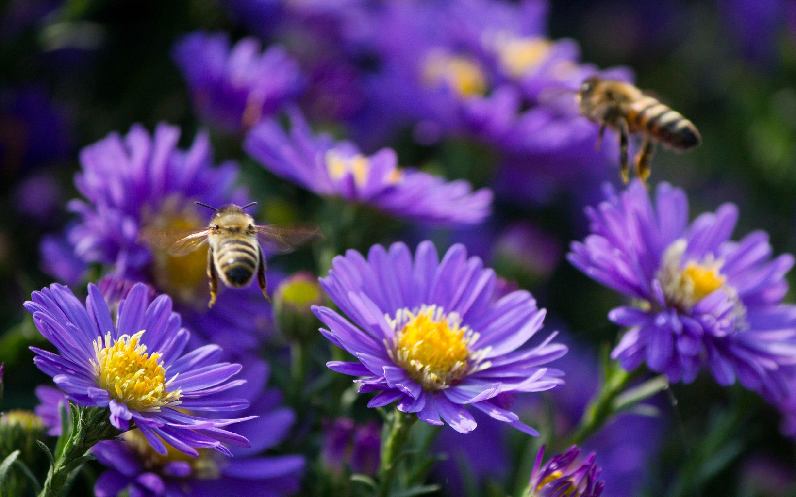 Two bees hover above a group of flowers growing in a yard in Wyoming.
