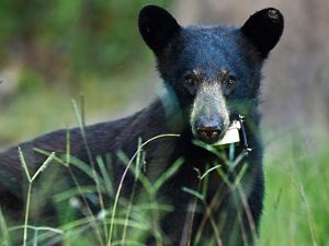 Florida black bear.