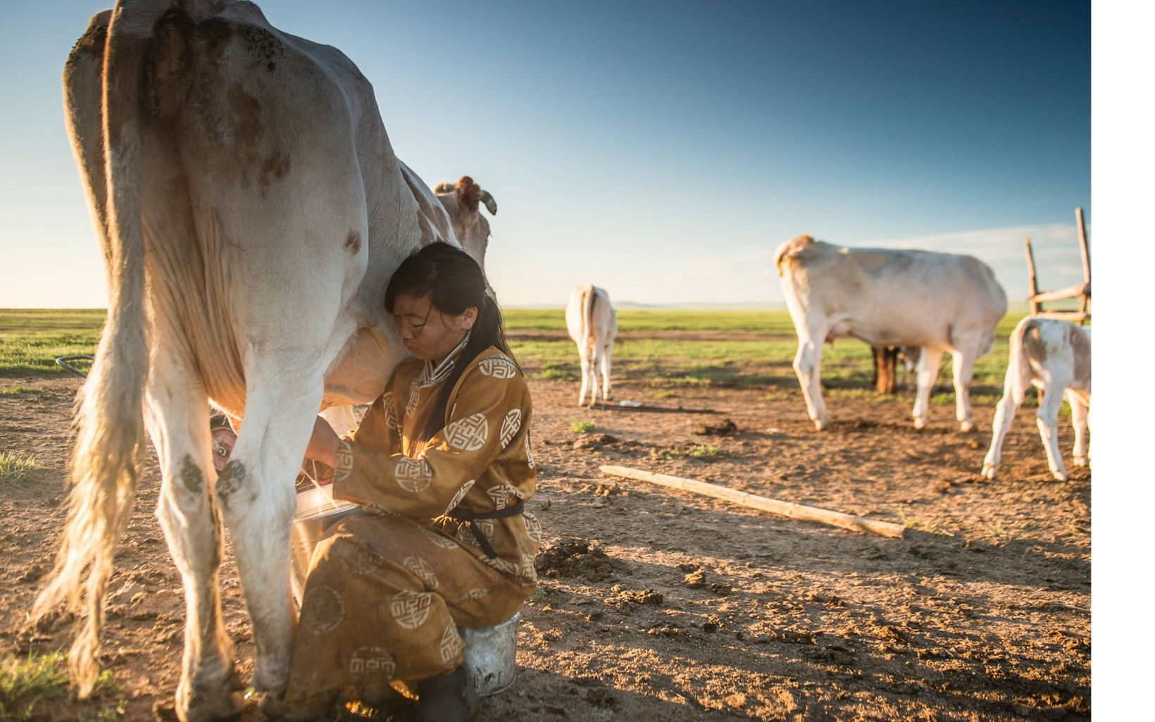 A young woman milks her family's dairy cow at dawn.