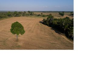 A lone tree on Mariana Menoli's soybean farm in the Santarem area of Brazil.