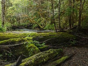 The moss-covered floor of a northern rainforest