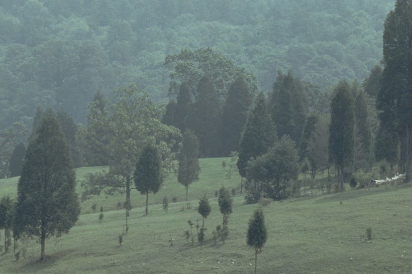 Misty view of an open field scattered with trees at varying stages of height and growth. A tree covered mountain rises in the distance.