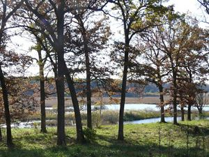 Oak trees at the Newell and Ann Meyer Nature Preserve, Mukwonago River watershed. Eagle, Wisconsin.