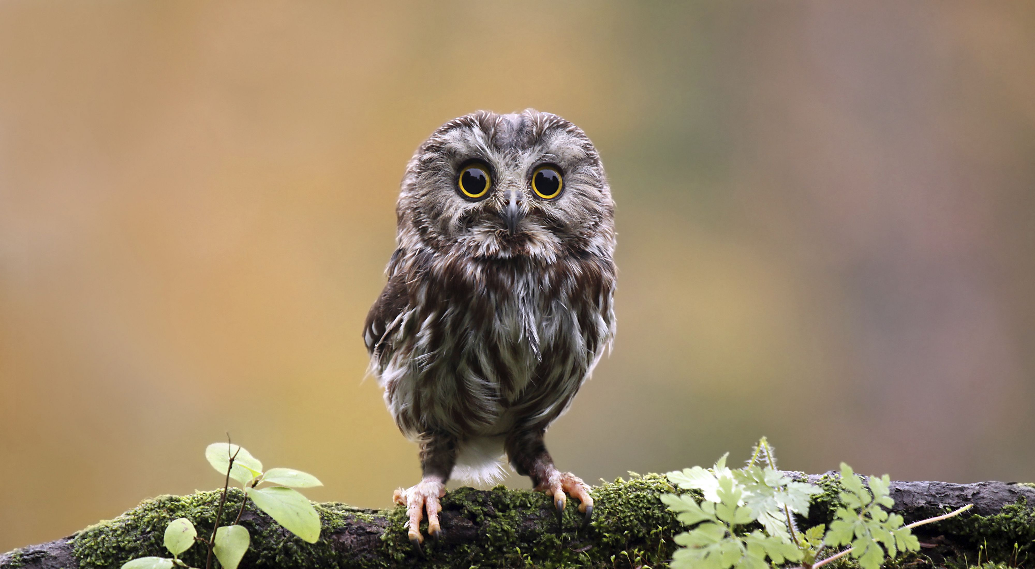 A small gray and brown owl perches on a moss covered tree branch.