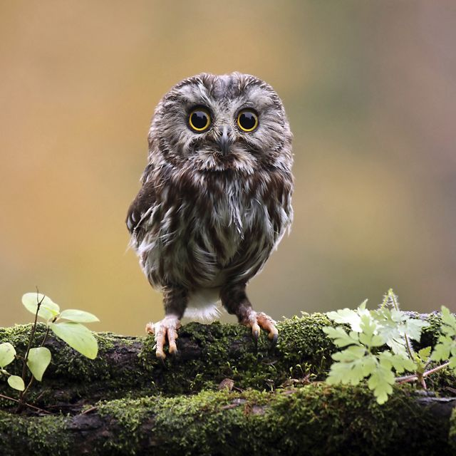 A small owl with yellow eyes stands on a mossy branch.