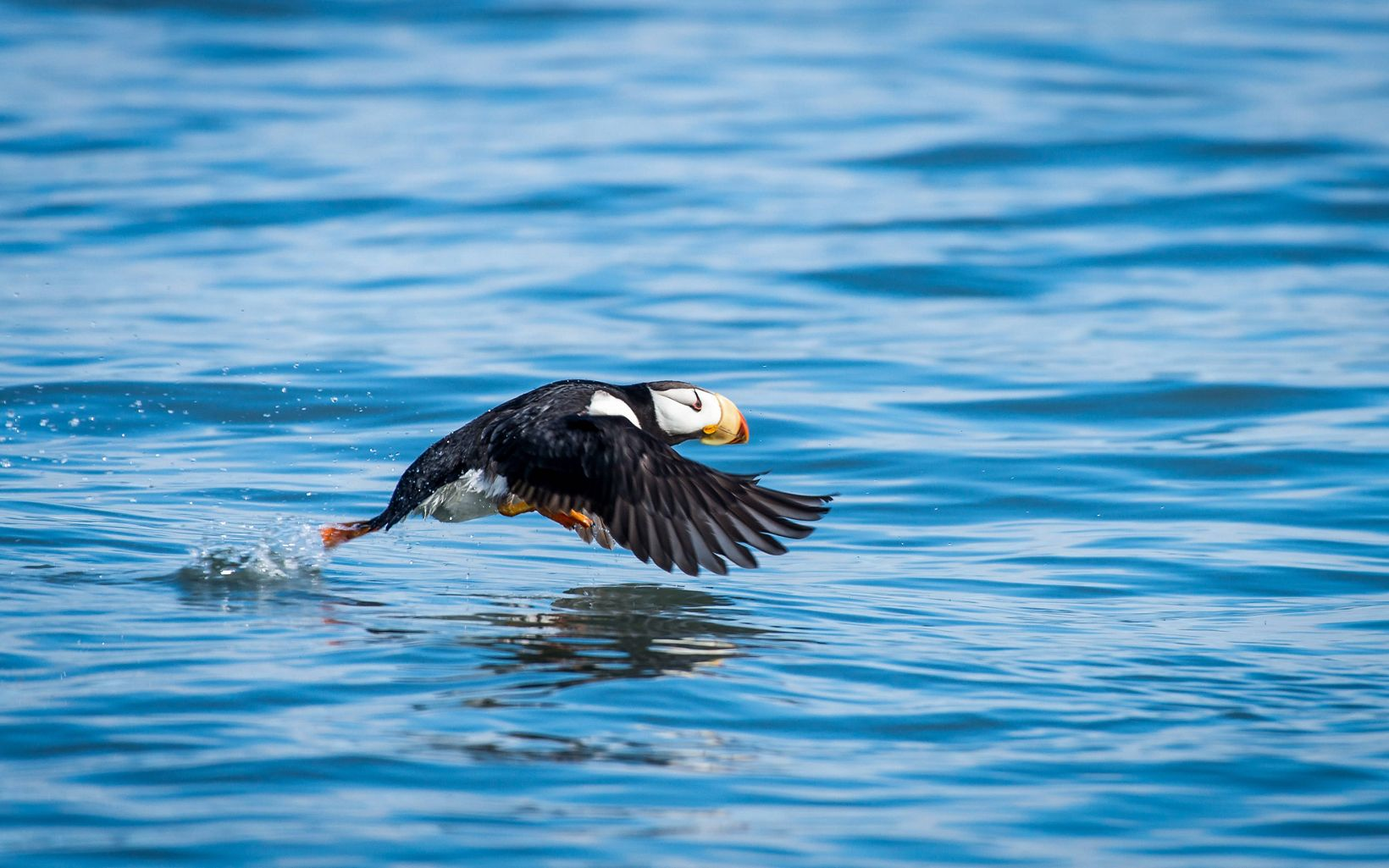 A puffin in flight near Lake Clark National Park, Alaska.
