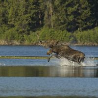 A bull moose takes a leap in Oxbow Bend, Yellowstone National Park.