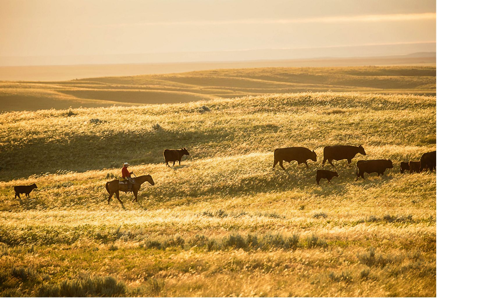 A rancher trails cattle on Matador Ranch in Montana. Increasingly, cattle are being used to create the specific kinds of grassland habitats needed by sage grouse and other native wildlife.