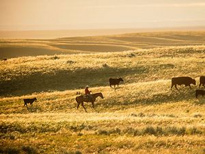 A cowboy on horseback moves cows on a prairie.