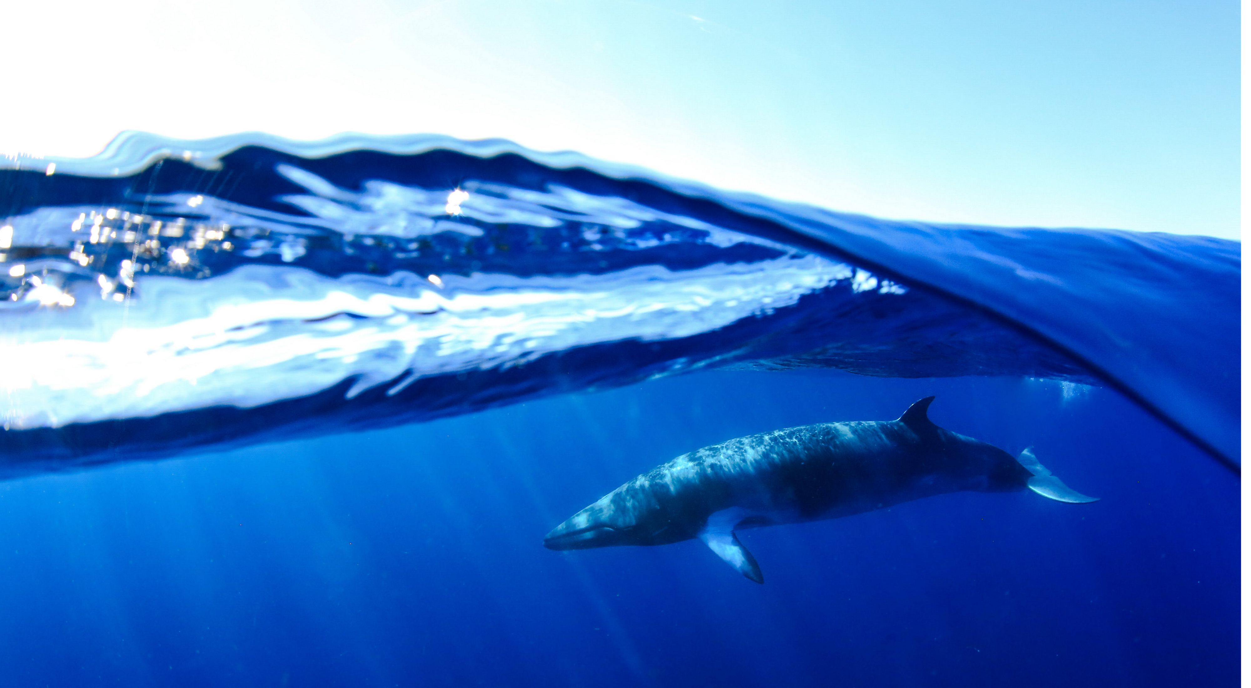 An encounter with a beautiful, curious Minke Whale in Ningaloo Reef, Coral Bay, WA, Australia.