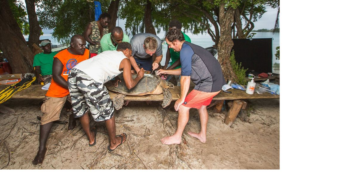 Scientists attach tracking devices to hawksbill turtles