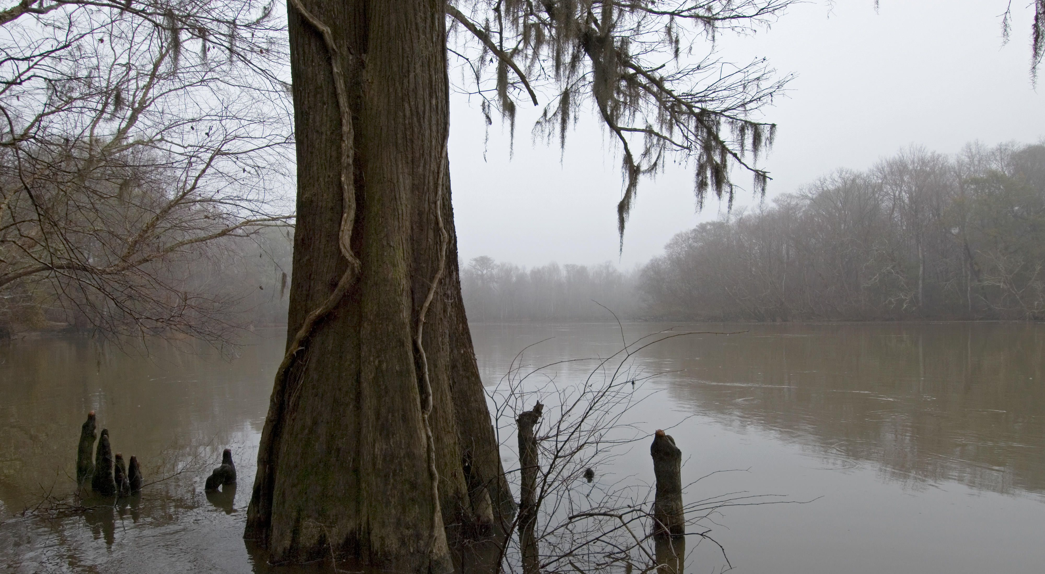 with hanging Spanish Moss is silhouetted by the shroud of winter morning fog that obscures the banks of the Great Pee Dee River.