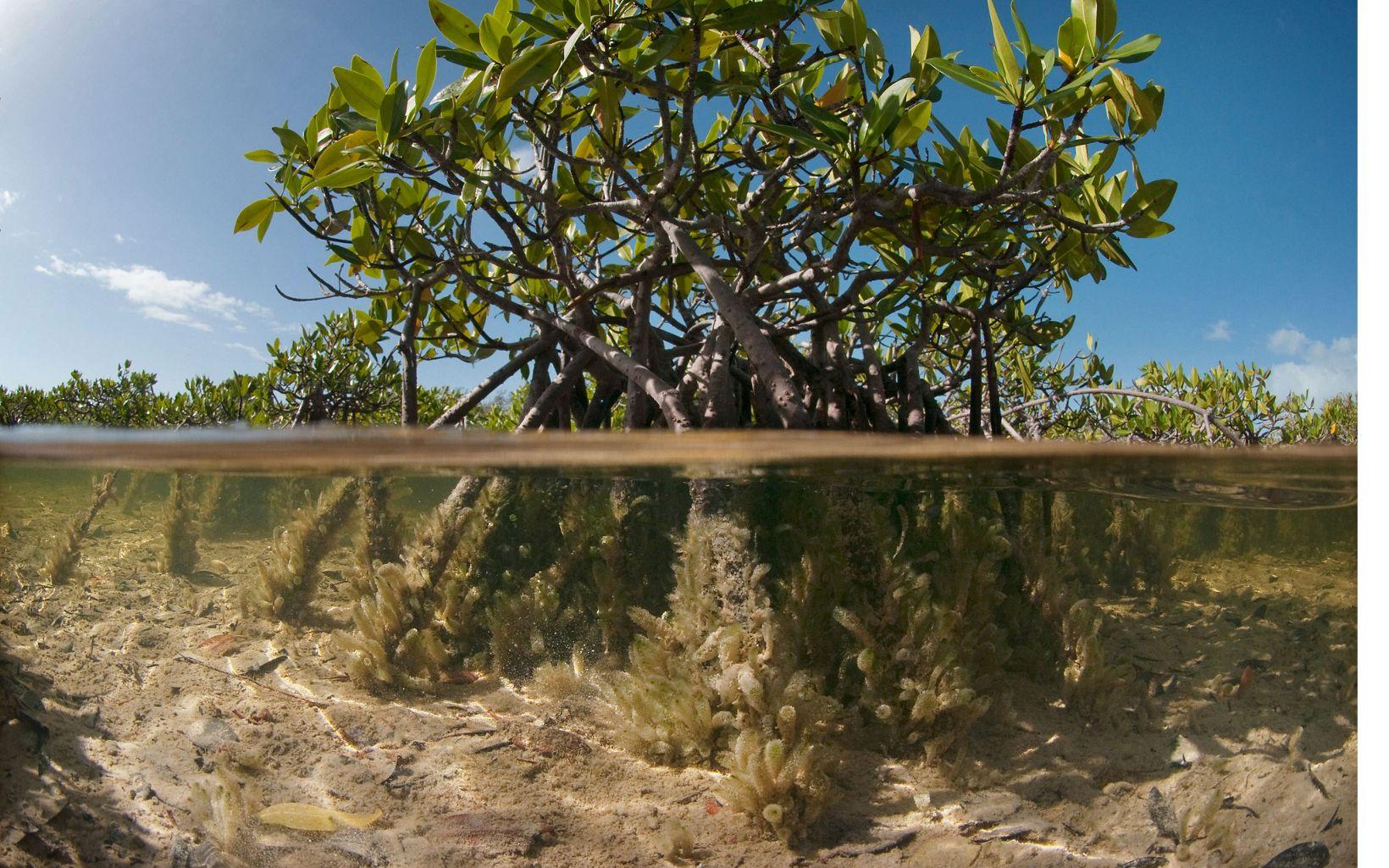 Mangrove in the shallow coastal salt flats of Warderick Wells Cay in the Bahamas Exuma Cays Land & Sea Park.