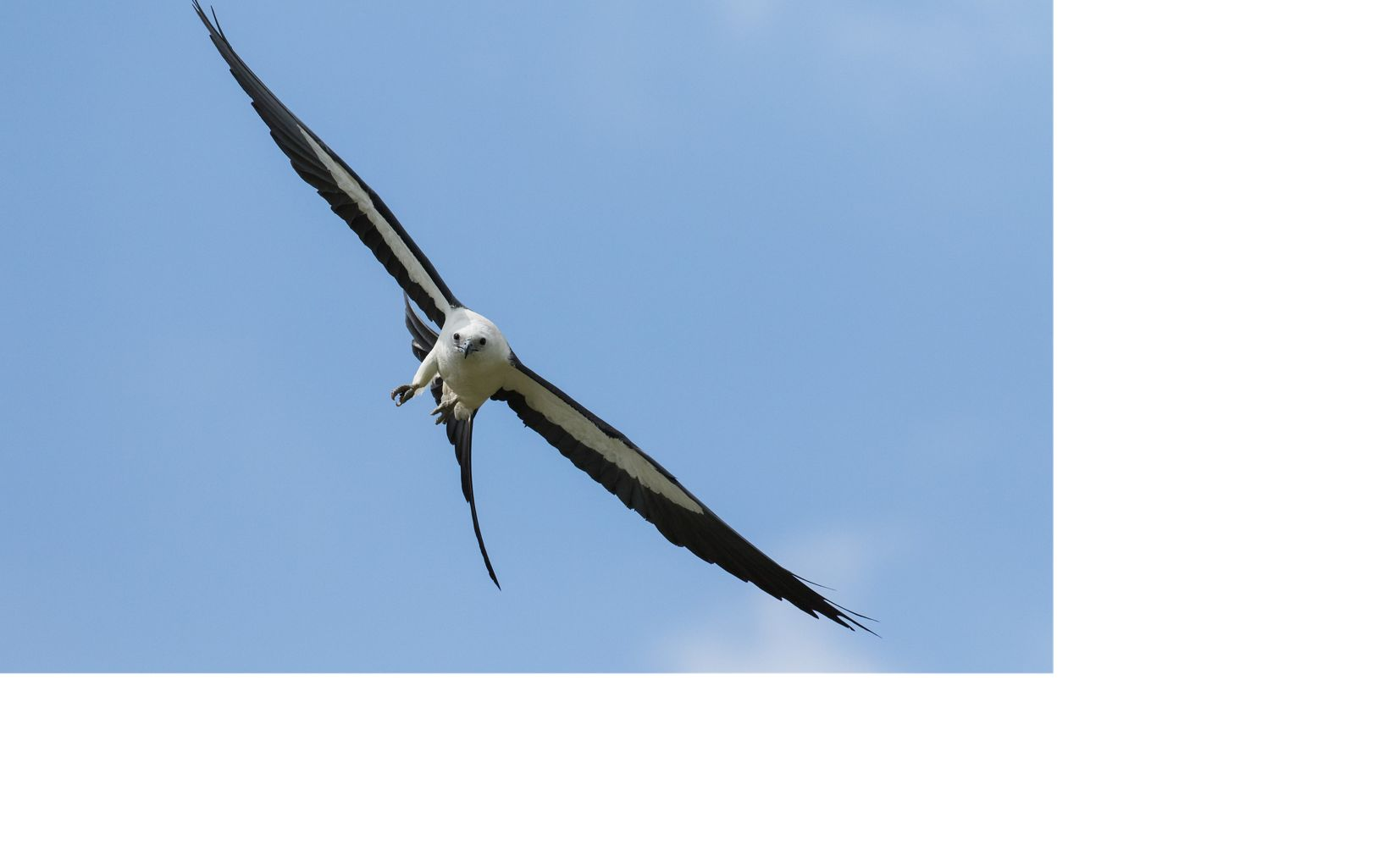 a large black and white bird in flight in a blue sky