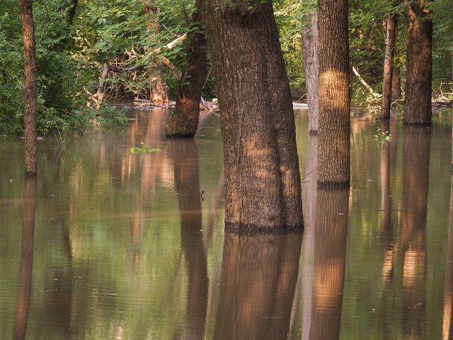 A stand of thick tree trunks surrounded by water.