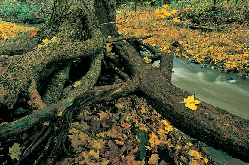 Water rushes through a narrow stream. The banks are covered with yellow leaves. A gnarled tree trunk is in the foreground.