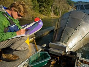 A fisheries biologist inspects a fish trap below Lookout Point Dam located on the Willamette River at Lowell, Oregon  Biologists use the trap to count juvenile salmon migrating past the dam.